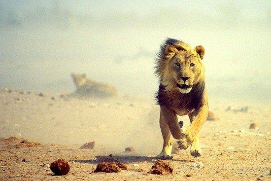 Avatarko ru admin животные бег льва